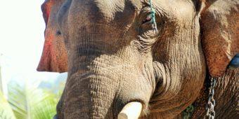 éléphant en thailande