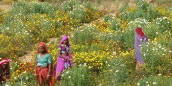 field flowers rajasthan