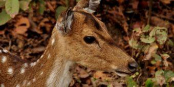 deer india madhya pradesh