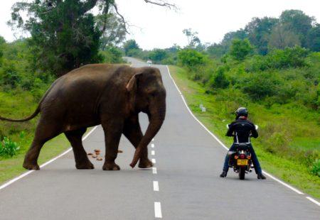 """<strong>Tu es parti ensuite au Sri Lanka avec nous, as-tu une anecdoteà partager ?</strong> Oui, «récidive» en février 2015 sur les <a href=""""https://www.vintagerides.com/voyage-moto/sri-lanka/sur-les-routes-de-ceylan/"""">routes de Ceylan</a>, avec François, Sophie et trois amis d'Orléans. Première rencontre avec un éléphant en moto. Je m'arrête à son niveau, il s'approche très près de moi, probablement en quête de nourriture. Je suis sur la moto, à sa merci, mais il recule tout à coup pour s'écarter. Je ne crois pas avoir eu peur, j'étais simplement fasciné ! Je me suis fait engueulé par François et mes amis. Il en reste un joli souvenir et une photo fétiche. Ce circuit au Sri Lanka confirme, s'il en était besoin, ma nouvelle vision du voyage. <strong>La suite, c'est ce projet fou de tout quitter pendant un an et faire le tour du monde en moto?</strong> Oui, c'est une idée qui s'est imposée d'elle-même, qui s'est nourrie de mes dernières aventures et de mon histoire personnelle. Un tour du monde ? Non, car le monde est si vaste. Mon tour à moi plutôt. Quand on aime on ne compte pas, alors un an… Une envie d'aller découvrir d'autres cultures, d'autres visages, d'autres styles de vie et philosophies. Prendre le temps, se confronter à nouveau à des inconnus, rechercher ces moments de spontanéité avec les gens que j'ai pu rencontrer au Pérou, en Mongolie et au Sri Lanka et qui disparaissent dans nos sociétés, chercher tout simplement un peu d'humanité."""