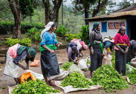 <h2>Sur la route du thé </h2>  Au Sri Lanka, peu importe la formule choisie, vous ne pourrez échapper à la boisson nationale : le thé. Quatrième producteur mondial de thé derrière la Chine, l'Inde et le Kenya, ce secteur constitue un pilier de l'économie sri lankaise. De Kandy à Nuwara Eliya, les collines et montagnes sont tapissées de plantations de thé à perte de vue. C'est au Sud de la petite bourgade d'Ella que Thomas Lipton a développé le commerce du thé de Ceylan, vestige de l'époque coloniale. Au détour d'une route, vous rencontrez les cueilleuses tamoules qui illuminent les plantations de leurs saris colorés. Lorsque les colons britanniques décidèrent d'introduire la culture du café puis du thé, ils eurent rapidement besoin de main d'œuvre pour travailler dans les plantations. Ils firent venir du Sud de l'Inde des immigrés tamouls dès 1830. Avec le développement croissant du secteur du thé, ce sont progressivement des milliers de Tamouls qui s'installèrent de manière permanente dans les montagnes au début du XXe siècle, représentant en 1953 environ 12% de la population totale du pays. Leurs descendants, bien que nés au Sri Lanka, n'ont jamais été véritablement intégrés dans la société et demeurent l'une des communautés les plus défavorisées du pays. Lors de votre voyage au Sri Lanka, vous pourrez visiter les usines de fabrication, parfois même participer à la cueillette et dans tous les cas déguster une tasse d'un des meilleurs thés au monde !