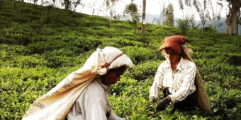 sri lanka plantation the cueilleuses